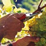 Bortolomiol grapes